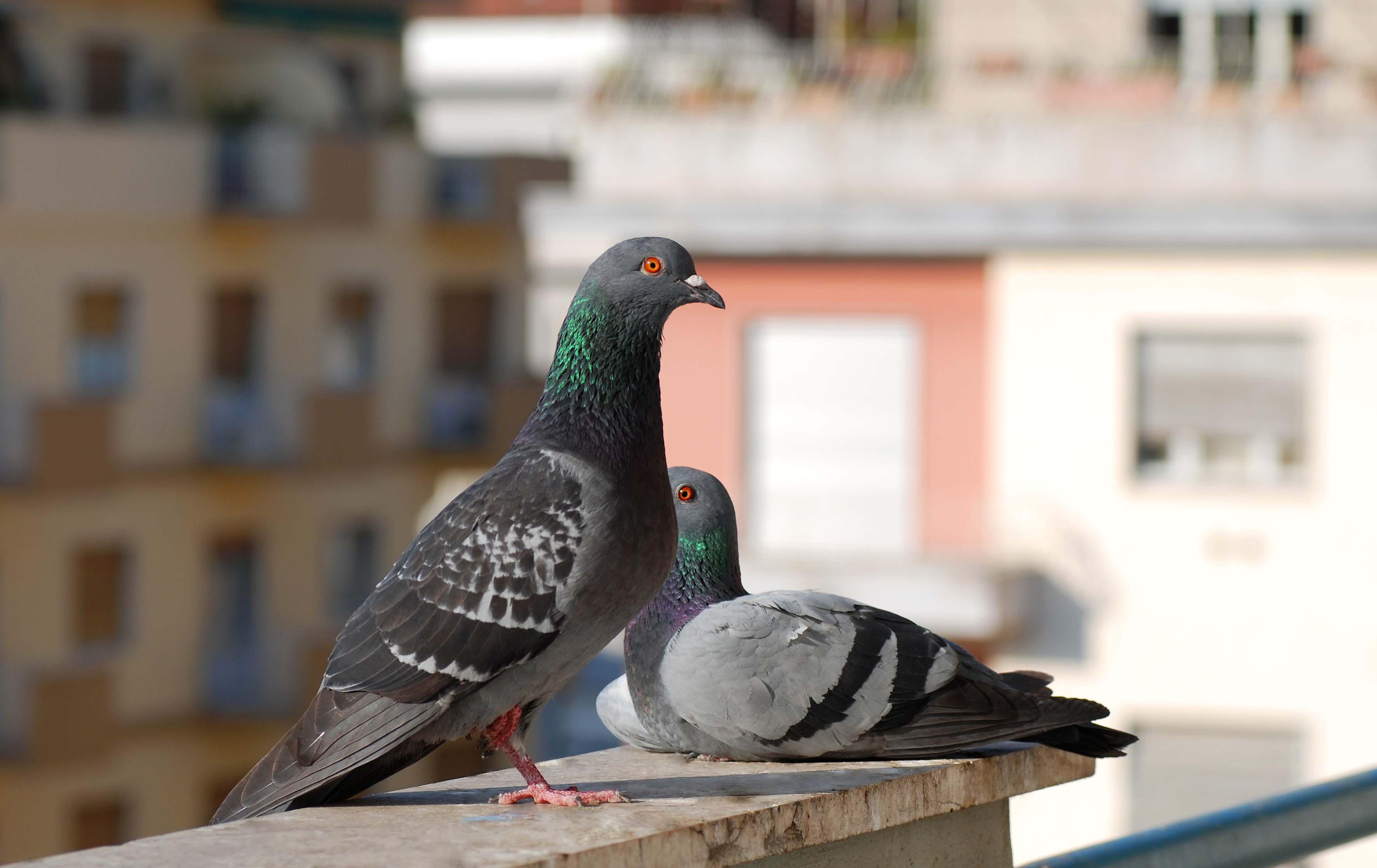 Come allontanare i piccioni
