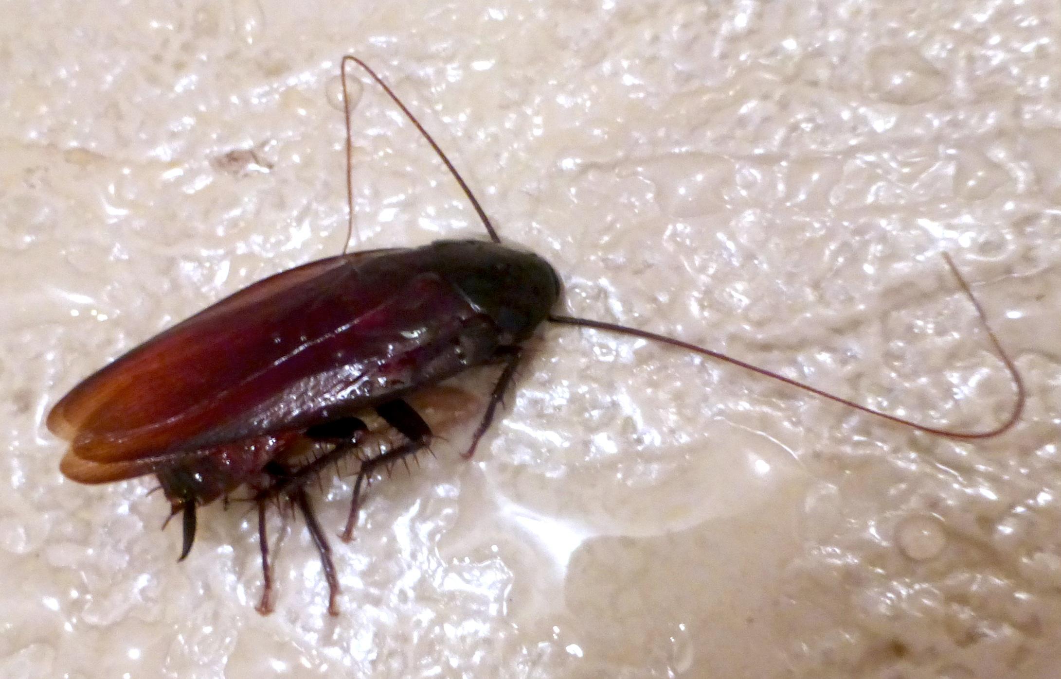 Trova scarafaggio nei ravioli: torna per lamentarsi ma quello che accade è assurdo