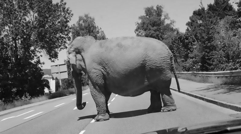 Epica fuga del più vecchio elefante di Germania dopo una vita passata nel circo